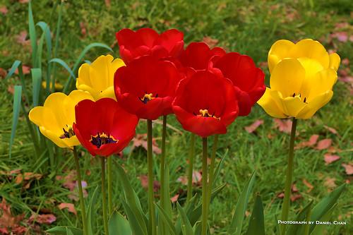 brooklyn narrowbotanicalgarden nature tulips flowers outside outdoorsphotography
