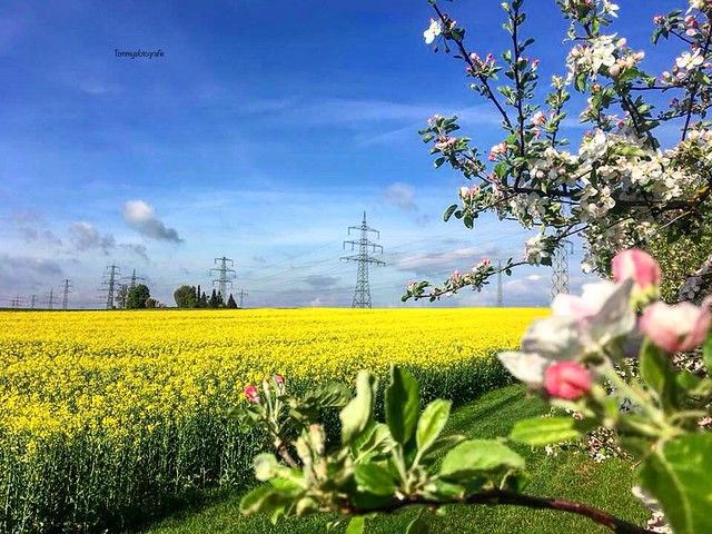 The rapeseed and the apples are flowering at the moment  Photo taken in Sindelfingen, Germany