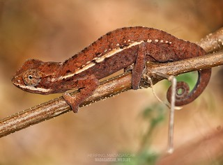Carpet chameleon (Furcifer major) - 20190811125834_IMG_3285-01