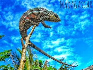 Panther chameleon (Furcifer pardalis) - FB_IMG_1586442539814-01-01
