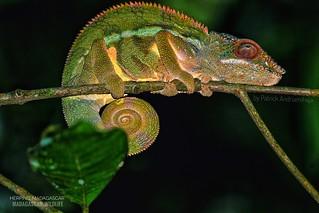 Panther chameleon (Furcifer pardalis) - 20190802184926_IMG_2179-01-01