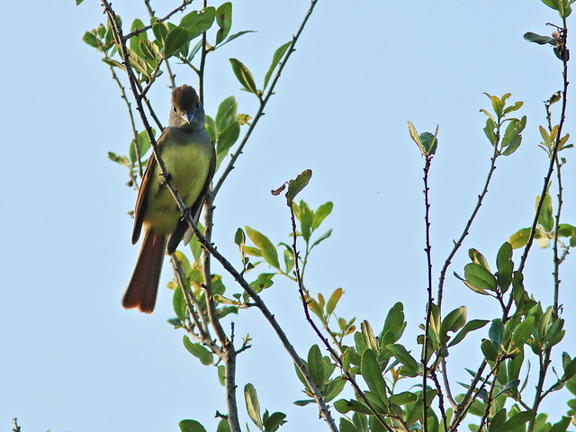 Great Crested Flycatcher 04-20200421