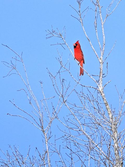Northern Cardinal 02-20200421