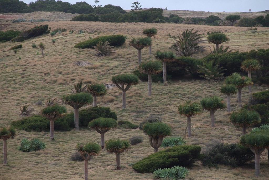 Драконовые деревья