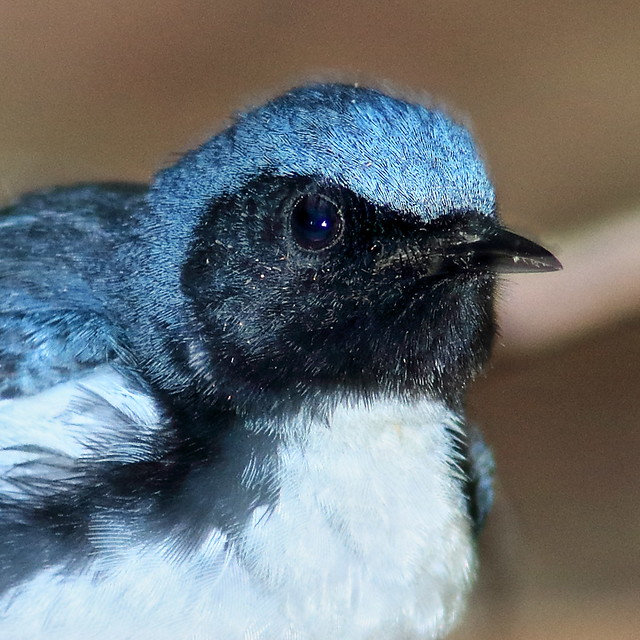 Black-throated Blue Warbler portrait  02-20200421