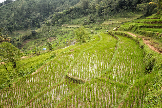 Rice terraces and forest near Magelang - Java Island - Indonesia