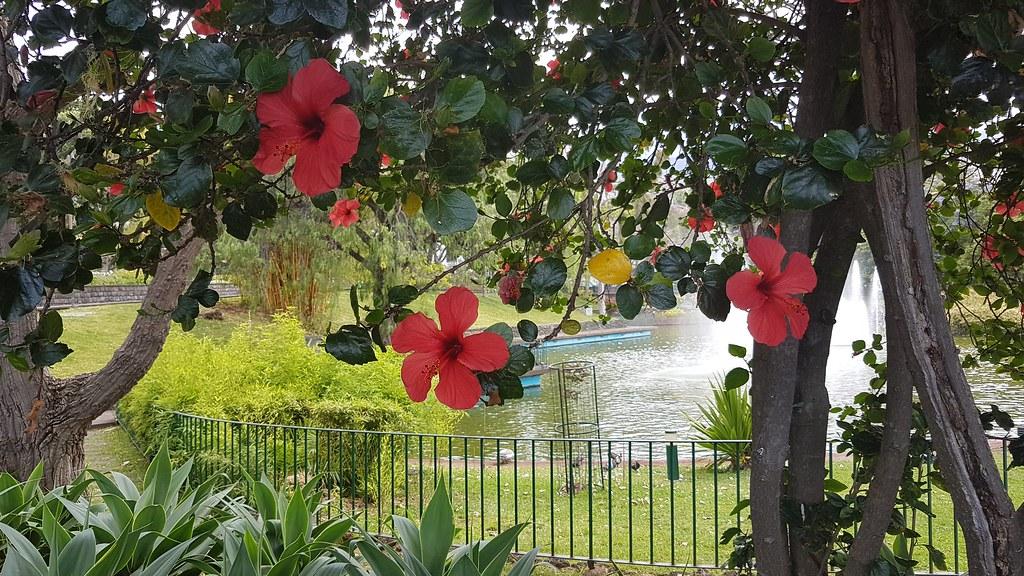 Гибискус в парке
