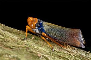 Fulgorid planthopper (Polydictya sp.) - DSC_5683