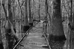 I Took a Traveled Path That Led Me to a Wilderness of Adventures (Black & White, Congaree National Park)