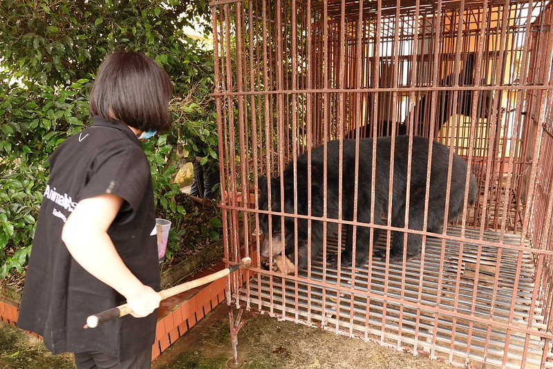 Bear Team Supervisor Tran Thi Gai feeds James with honey