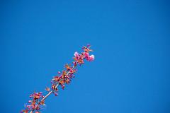 Cherry Blossom :cherry_blossom: