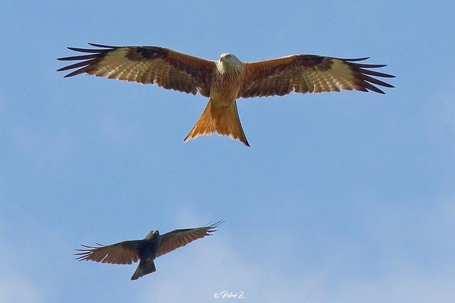 Red kite vs Raven