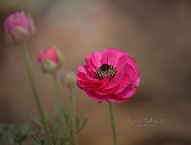 Ranunculus asiaticus / buttercup/