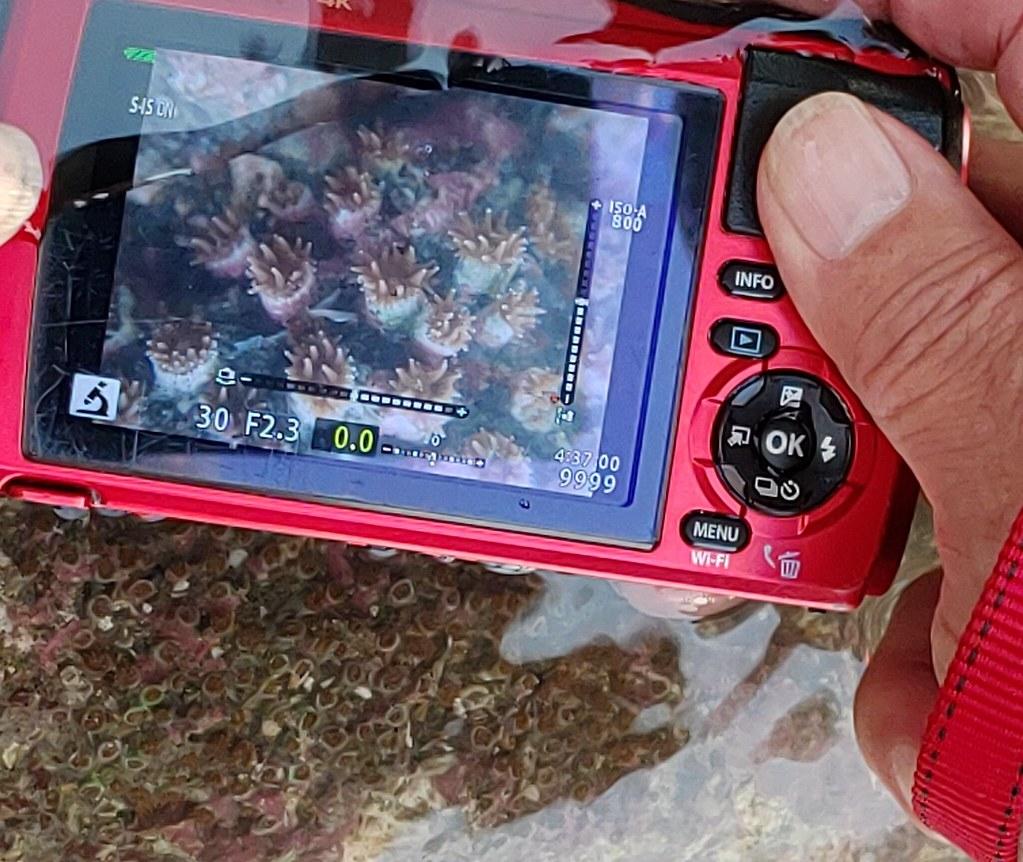 圖片4-大潭藻礁G1區域內的柴山多杯孔珊瑚(4月9日現勘)