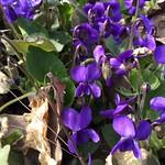 March Violet. Purple Violet. Víola odoráta. April. Svyatoshyn. Kyiv. Ukraine.