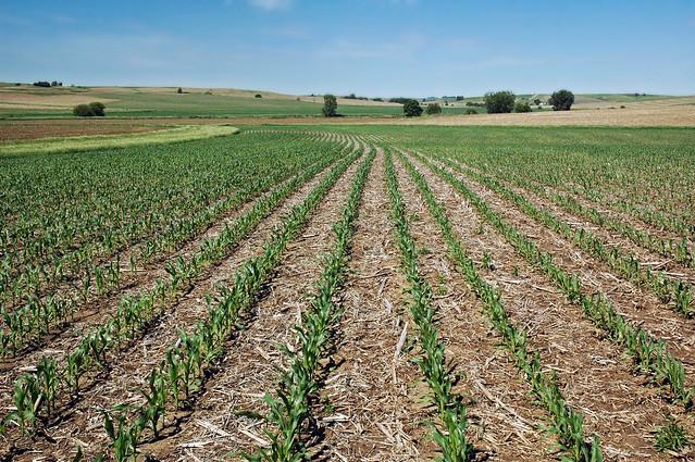 No-till corn