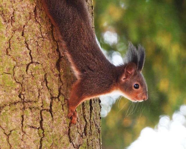 Eichhörnchen - Squirrel (Austria)