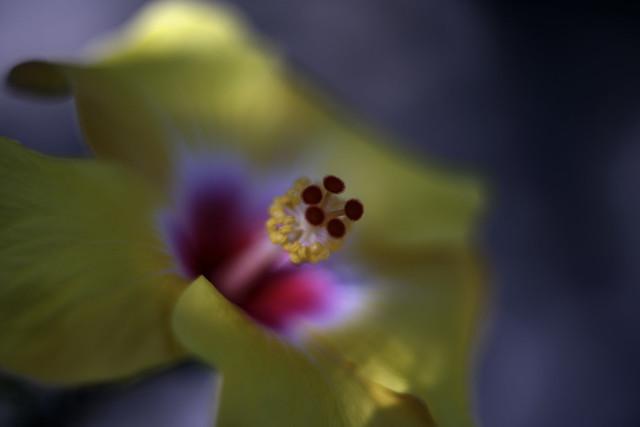 Cœur d'Hibiscus