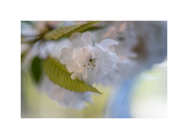 White Cherry Bloom still life