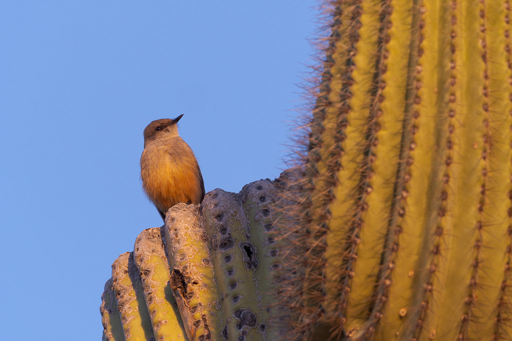 A Say's phoebe perches on the broken arm of an old saguaro in George Doc Cavalliere Park in Scottsdale, Arizona in February 2020