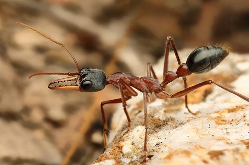 Black-headed Bull Ant (Myrmecia nigriceps)