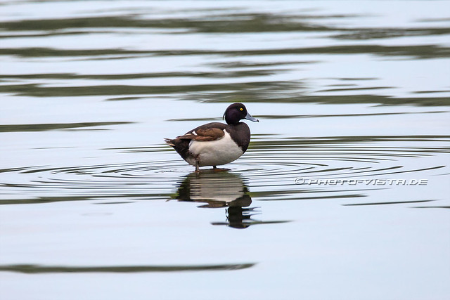 Duck on Lake Danao Camotes