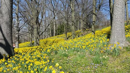 daffodils daffodilhill lakeviewcemetery clevelandohio clevelandheightsohio
