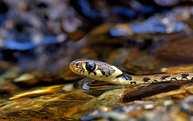 Italy, Barred grass snake