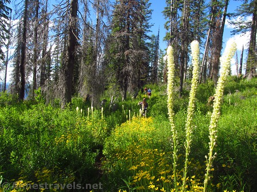 Wildflowers along the Berray Mountain West Trail, Cabinet Mountains Wilderness, Montana