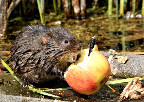 Water Vole eating an Apple | by davewildlife