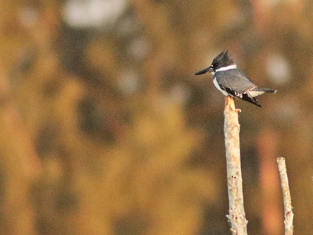 Belted Kingfisher male 20200422