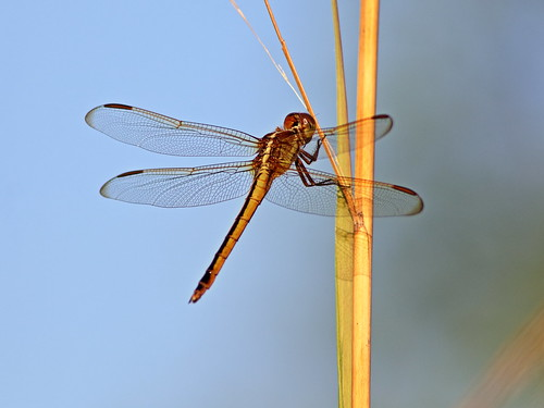 Needham's Skimmer - Libellula needhami 20200422