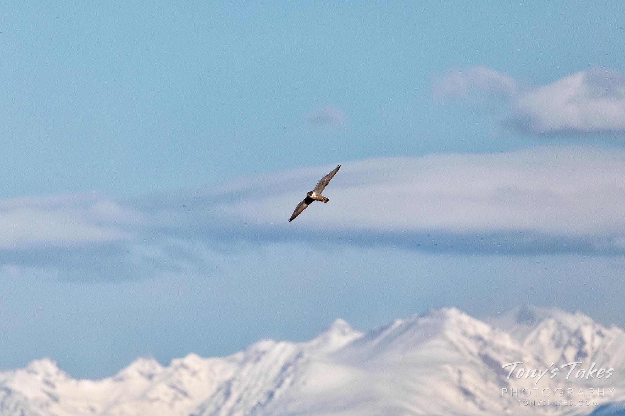Peregrine falcon makes a rare appearance