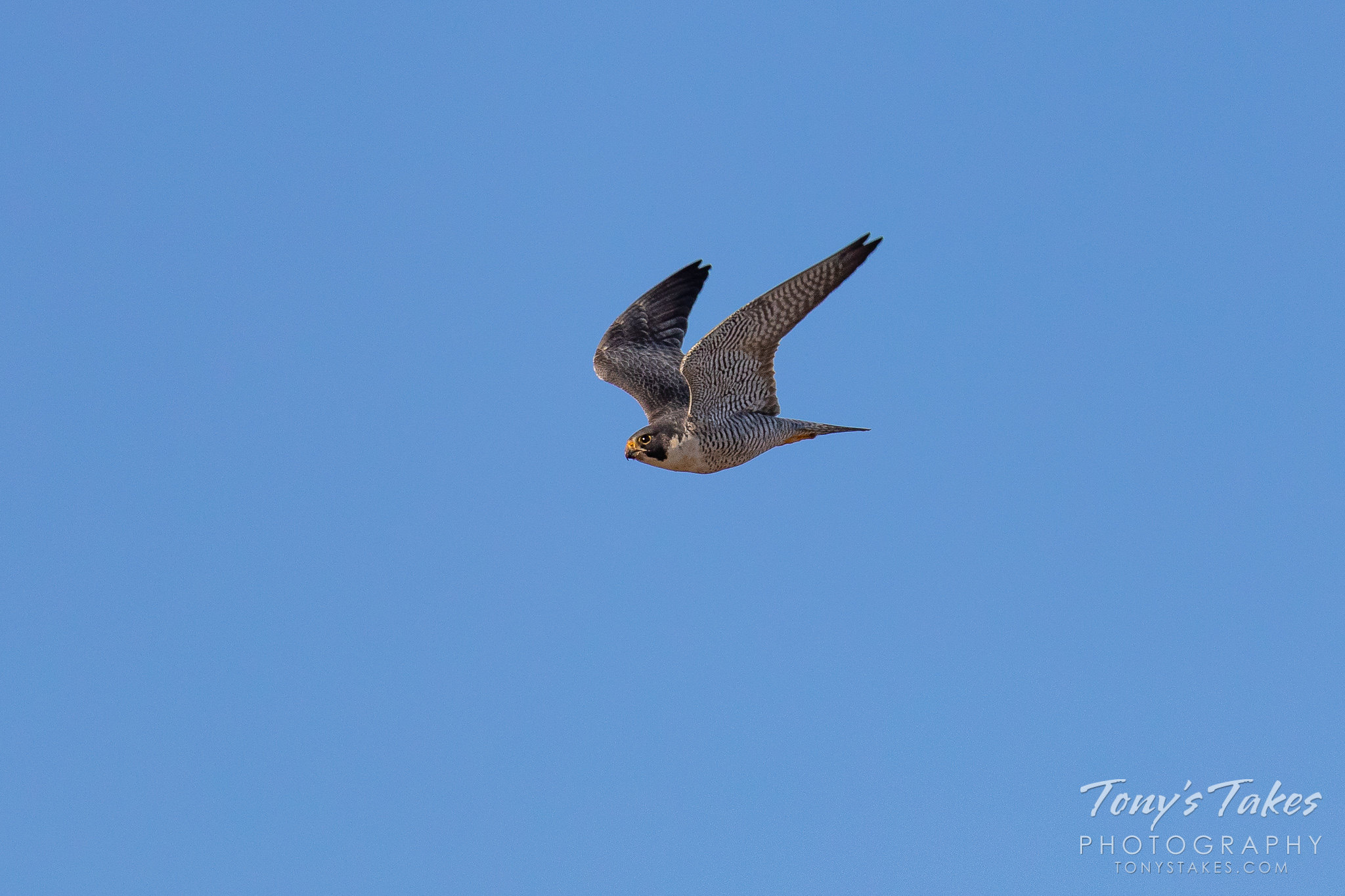 A peregrine falcon makes a fast flyby in Colorado. (© Tony's Takes)