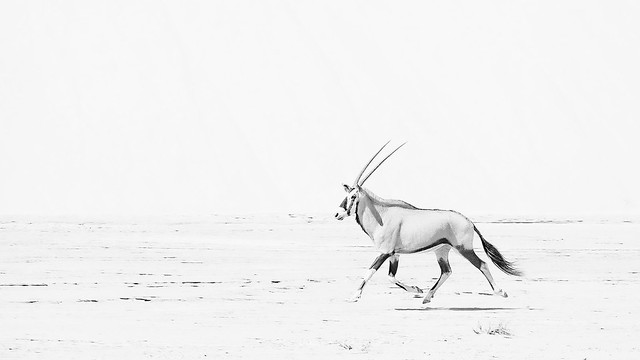 Oryx in the Hoanib valley