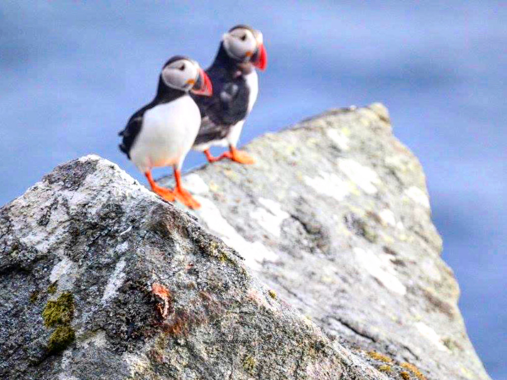 Another view of a pair of puffins, they will stay together till the dead comes. Photo taken on Runde, Norway. 2018