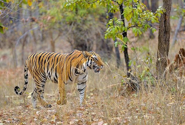 India, Bengal tiger