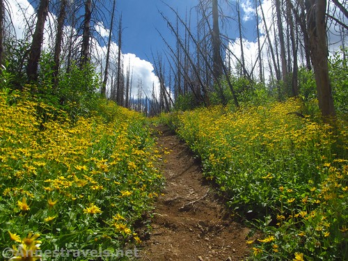 Heartleaf arnica along the Berray Mountain West Trail, Cabinet Mountains Wilderness, Montana