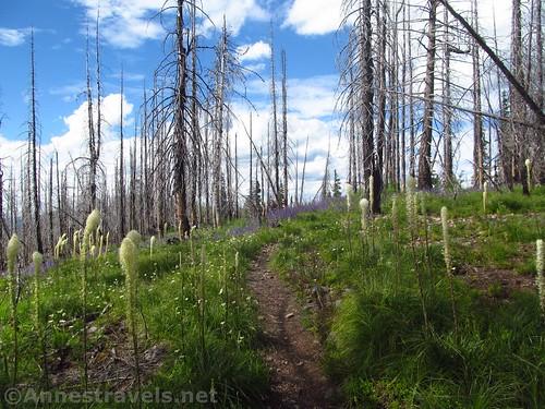 Beargrass and lupine along the regular Berray Mountain Trail, Cabinet Mountains Wilderness, Montana