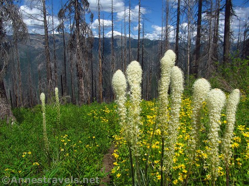 Beargrass and Heartleaf Arnica along the Berray Mountain West Trail, Cabinet Mountains Wilderness, Montana