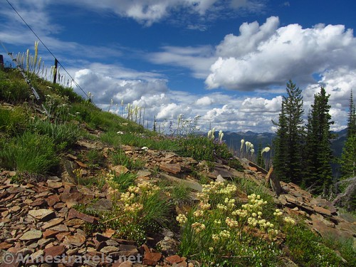 Buckweat and beargrass on top of Berray Mountain, Cabinet Mountains Wilderness, Montana