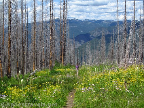 Rising through the burned out forest, meadows, and wildflowers on the Berray Mountain West Trail, Cabinet Mountains Wilderness, Montana
