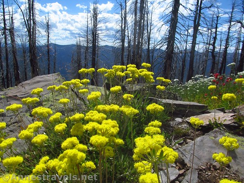 Alpine golden buckwheat along the Berray Mountain Trail, Cabinet Mountains Wilderness, Montana