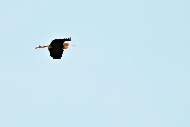 Little Blue Heron 20200422