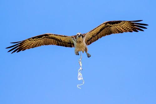 outdoor desoto dennis adair sky nature wildlife 7dm2 7d ii ef100400mm canon florida bird bif flight raptor