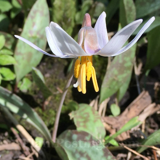 trout lily 4