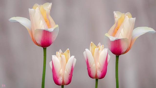 Tulipes - 8334