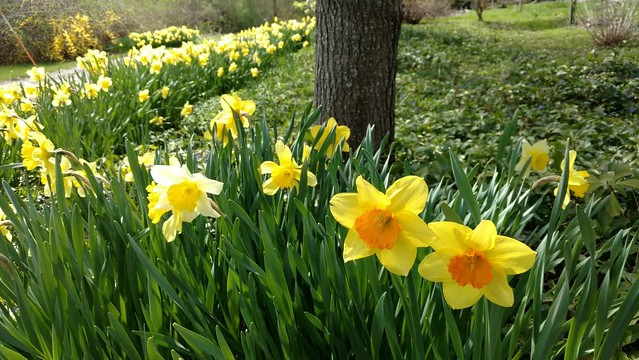 Daffodils (courtesy of Kimberly Ward)