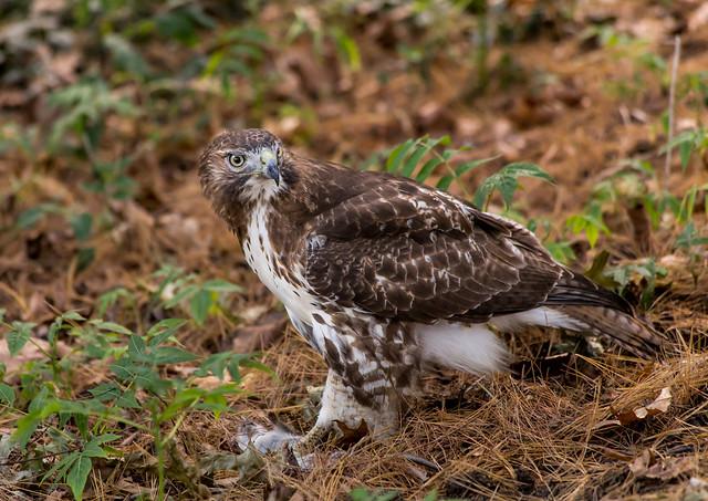 Hawk eating a Rat in Central Park