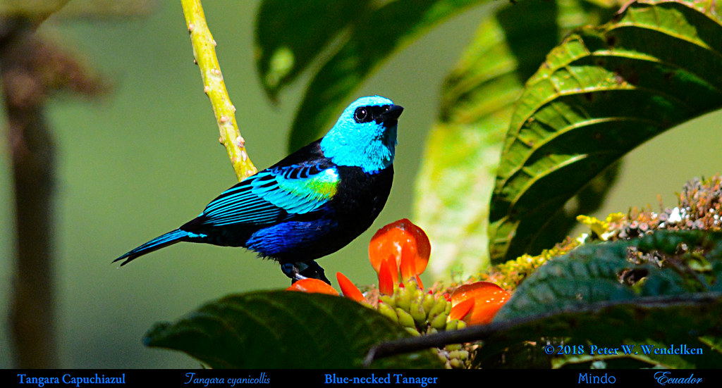 BLUE-NECKED TANAGER Tangara cyanicollis by Porotón Flowers in Mindo, ECUADOR. Tanager Photo by Peter Wendelken.